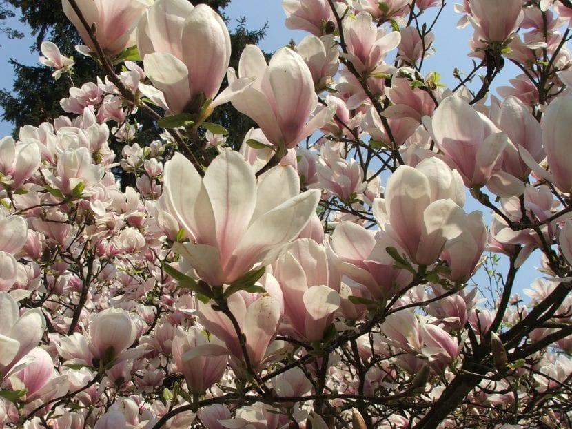 Vista de las flores de la Magnolia soulangeana