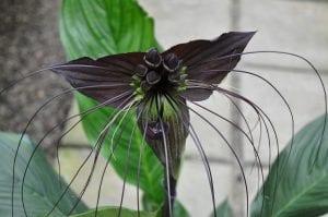 La flor de murciélago es negra