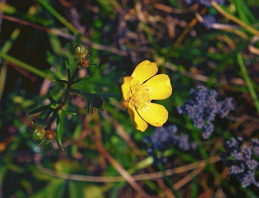 flor solitaria de color amarilla llamada Ranunculus repens