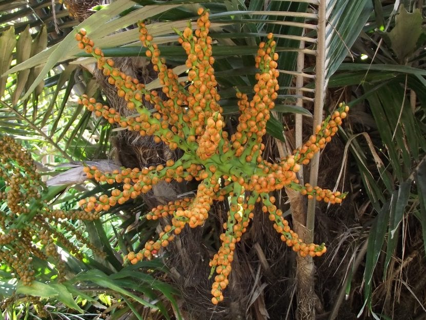 Las Arenga son palmeras monoicas