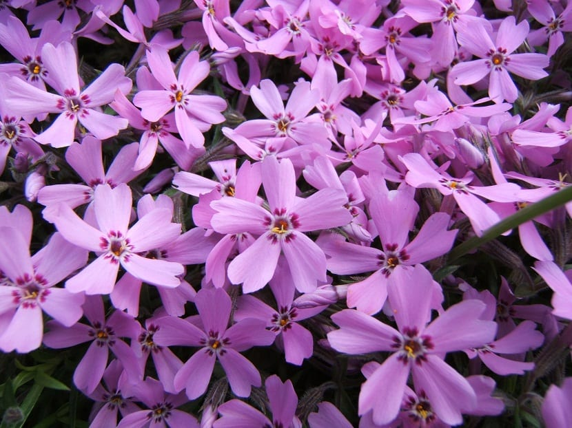flores coloridas formadas de cinco petalos