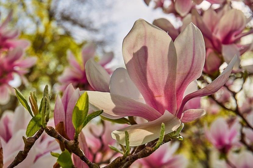 Las flores de la Magnolia x soulangeana son grandes