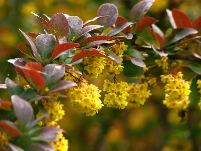 Las flores del agracejo son amarillas