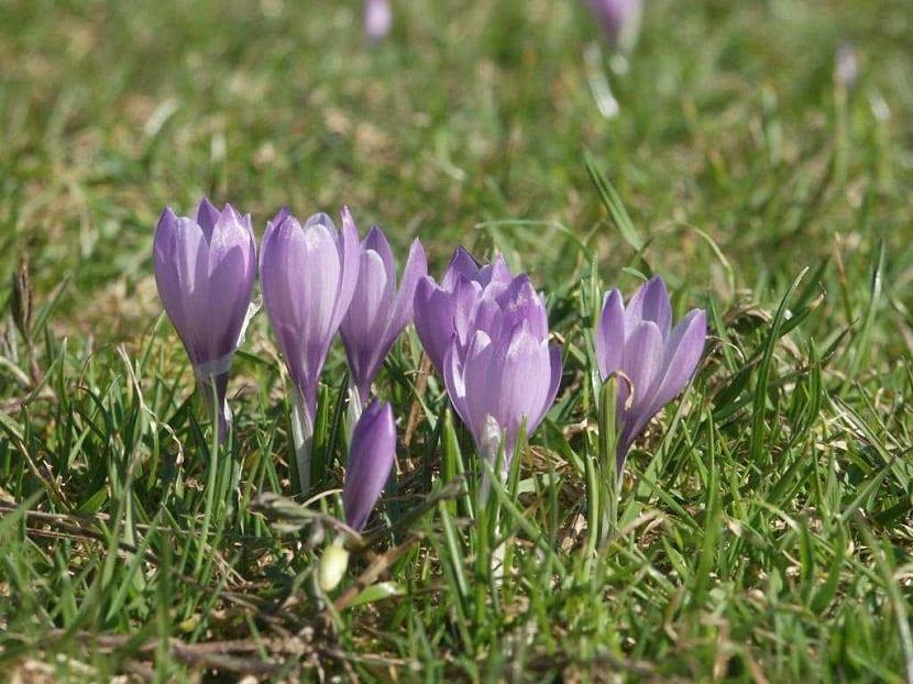 https://www.jardineriaon.com/caracteristicas-y-usos-de-la-flor-de-azafran.html