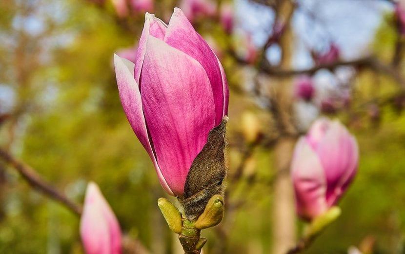 Las flores de la Magnolia soulangeana son grandes