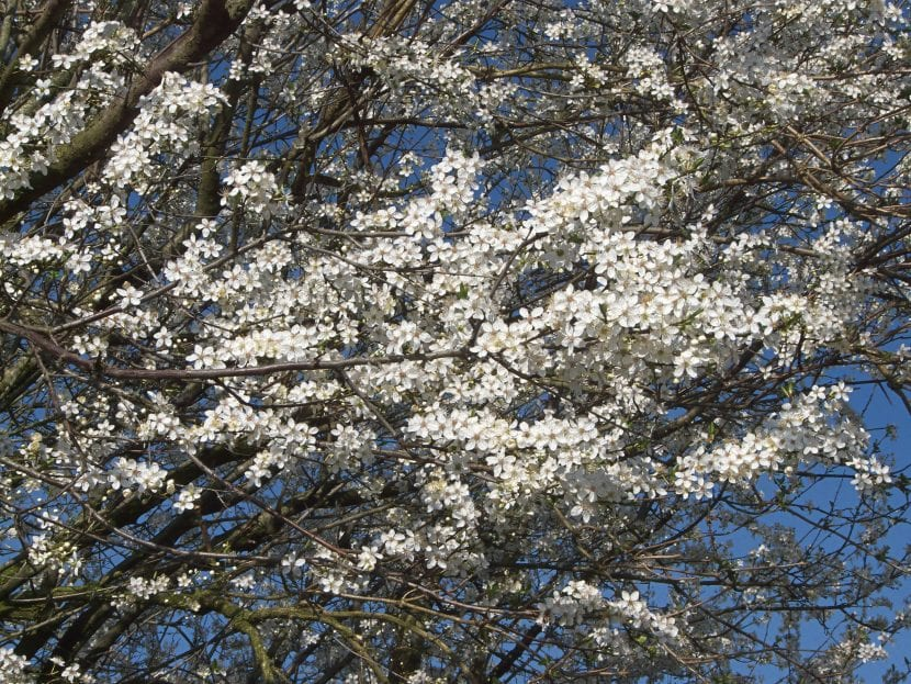 Las flores del mirabeles son blancas y numerosas
