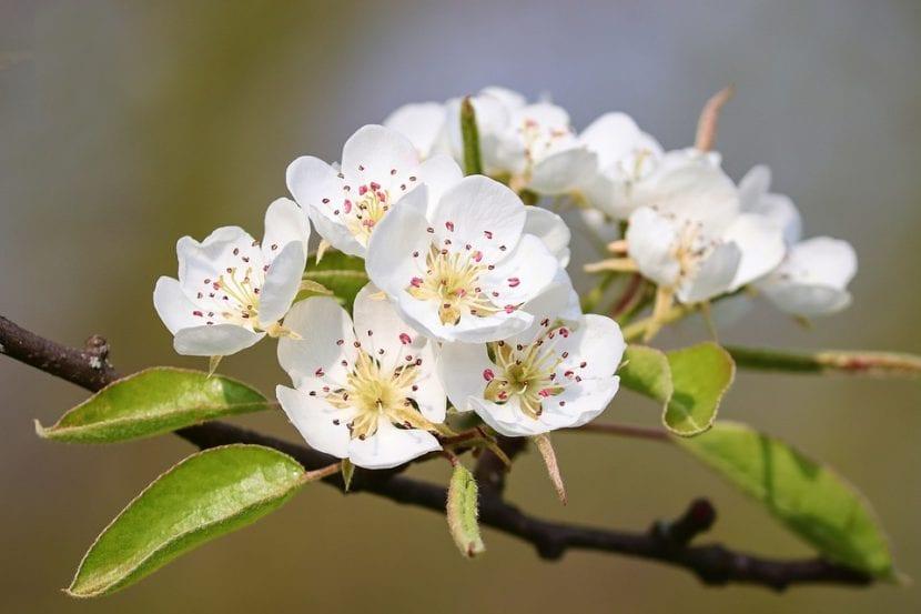Las flores del peral son blancas