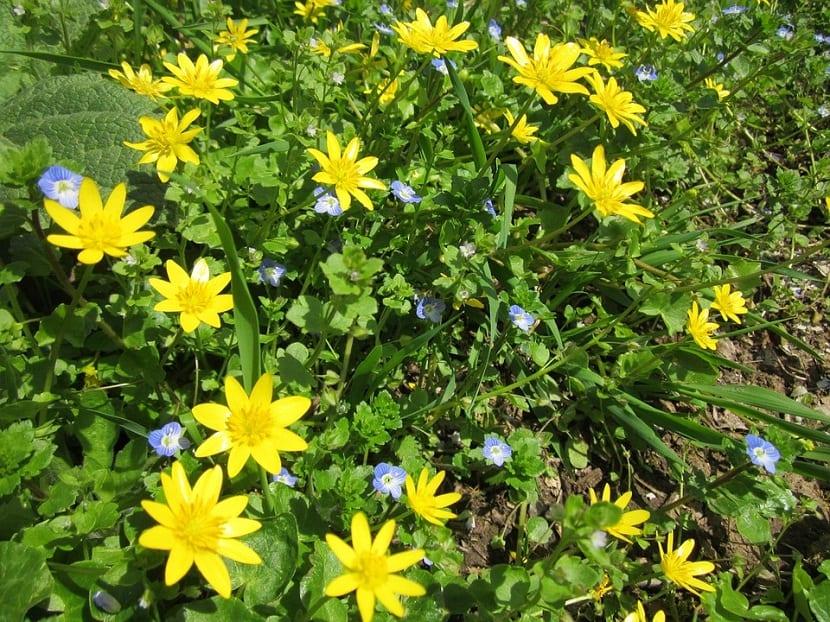 flores silvestres de color amarilla llamada Ranunculus ficaria