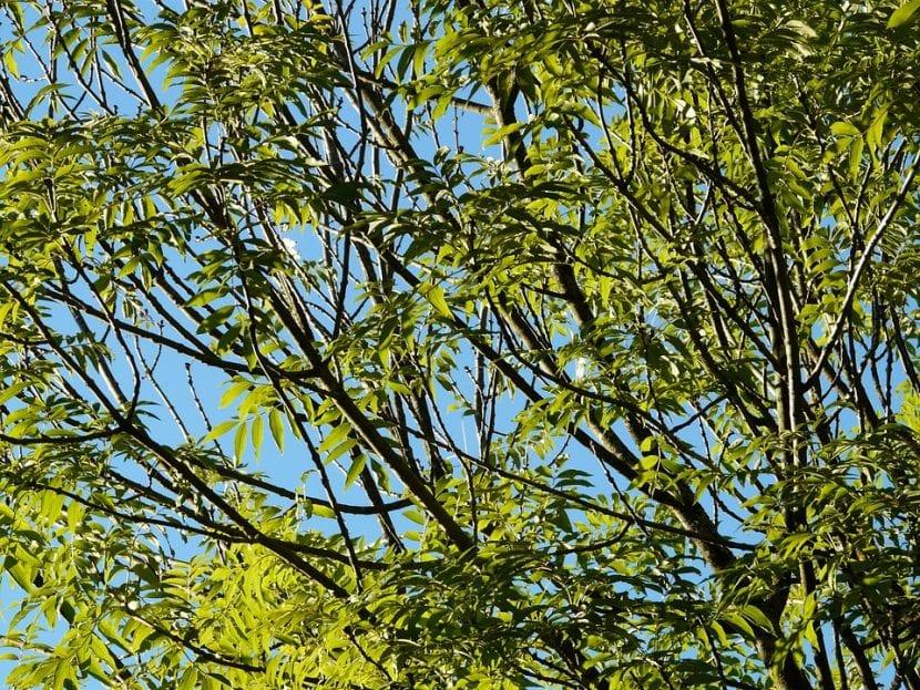 Los fresnos son árboles grandes