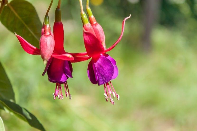 Fuchsia en flor