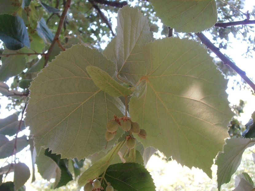 hojas de arbol llamado Tilo plateado