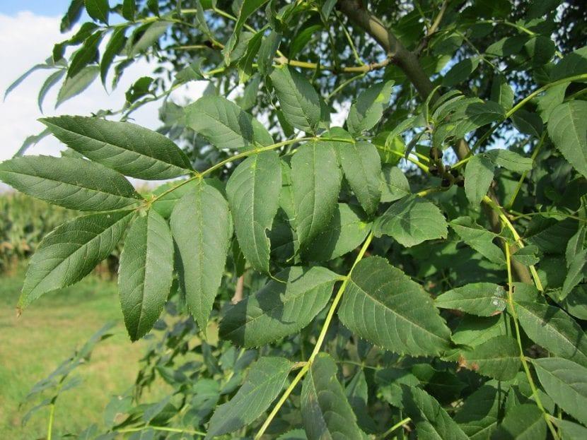 Las hojas del fresno son caducas
