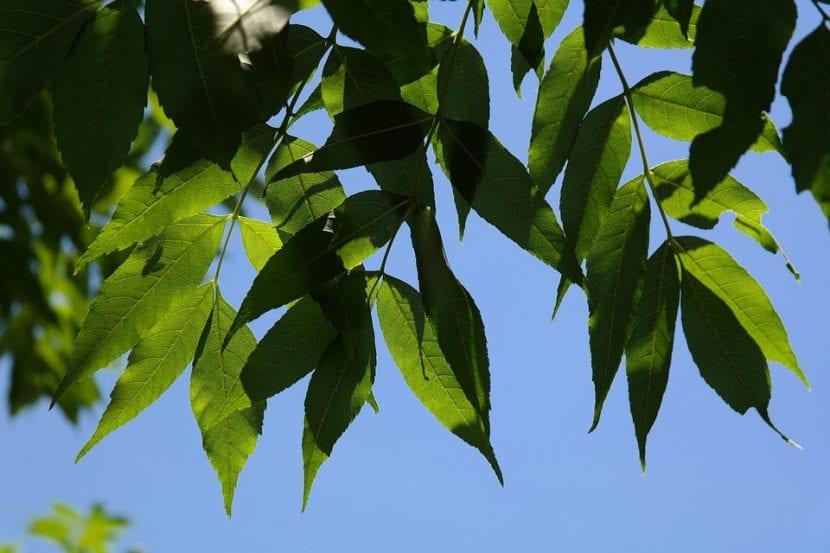 Las hojas del fresno son verdes