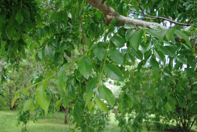 Las hojas del olmo chino son pequeñas