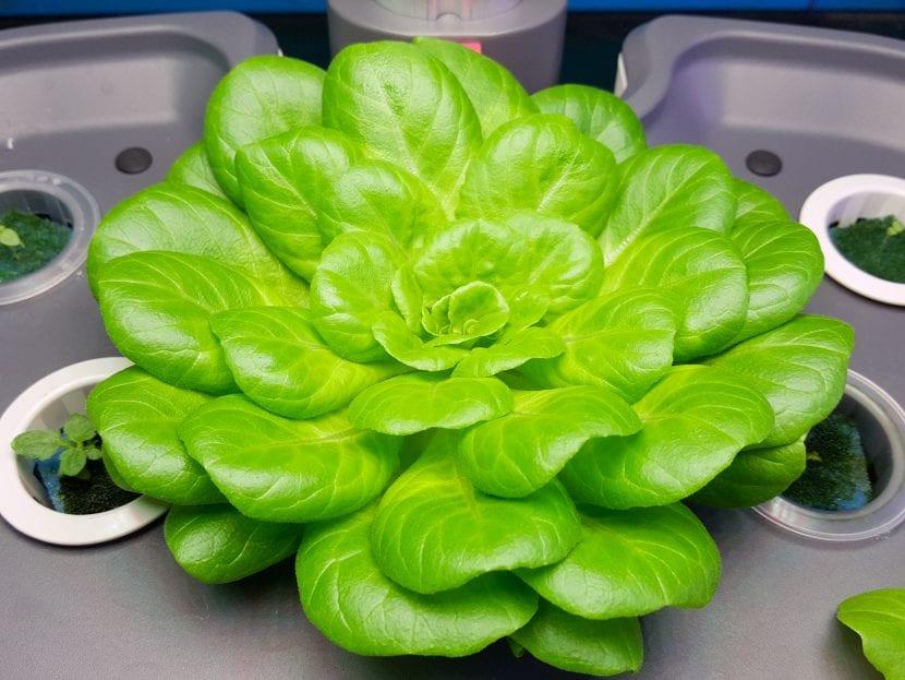 Las lechugas se pueden cultivar en hidroponía