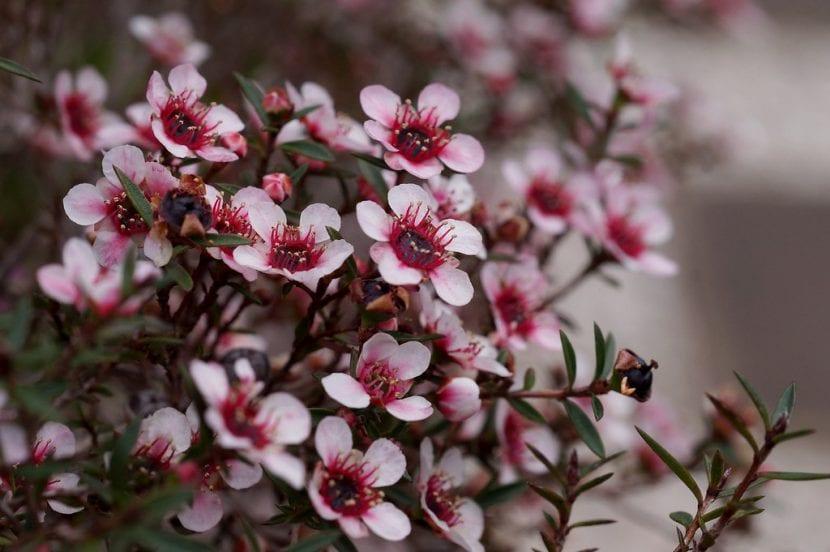 El Leptospermum es una planta de gran valor ornamental