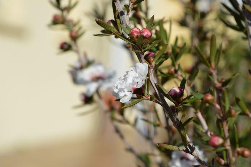 El Leptospermum puede tener las flores blancas