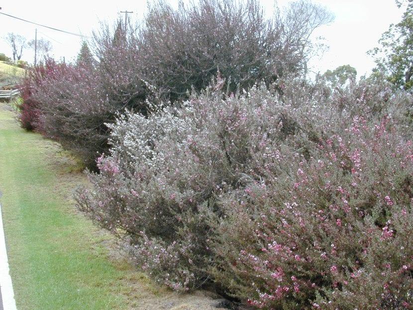 Vista del Leptospermum en un jardín