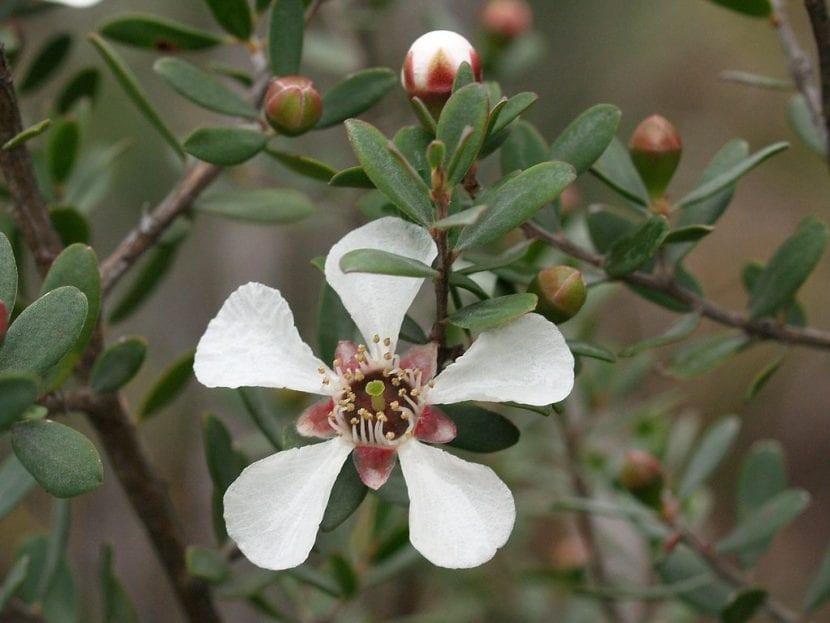 Vista del Leptospermum grandiflorum