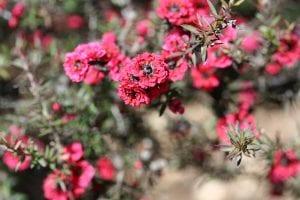 El Leptospermum tiene flores pequeñas