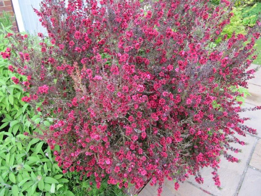 El Leptospermum scoparium es una planta decorativa