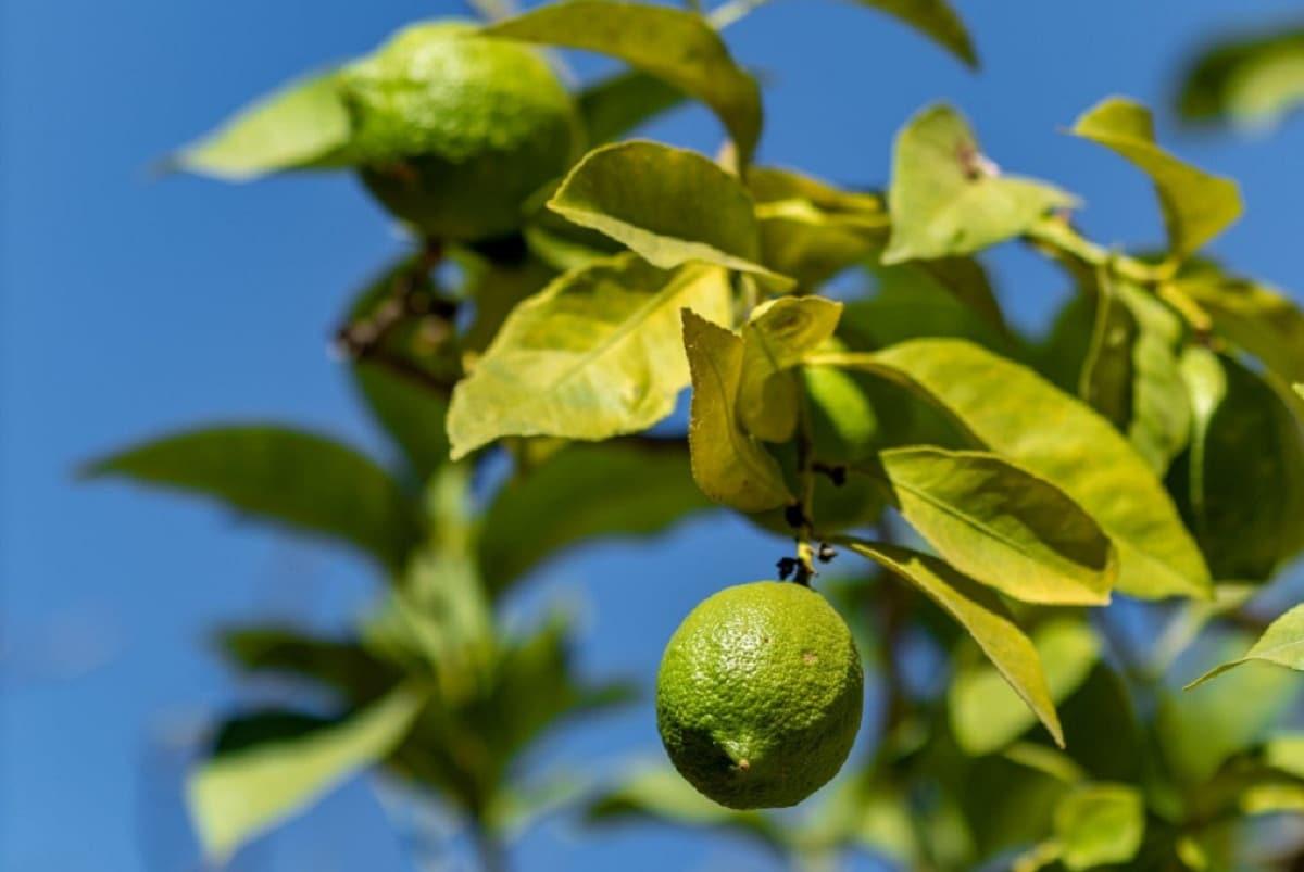 La lima es un frutal pequeño