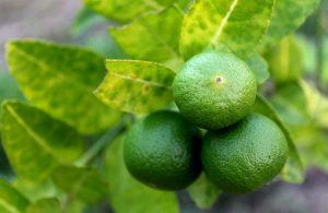 La lima es un frutal perenne
