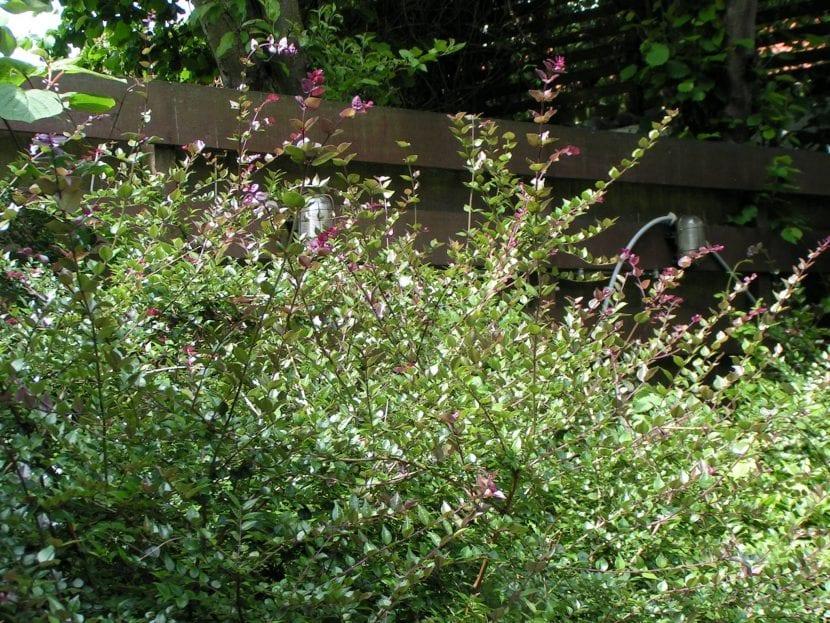 La Lonicera nitida es un arbusto
