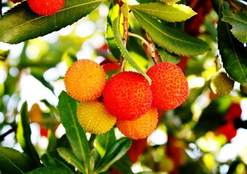 El madroño es un arbusto de hoja perenne