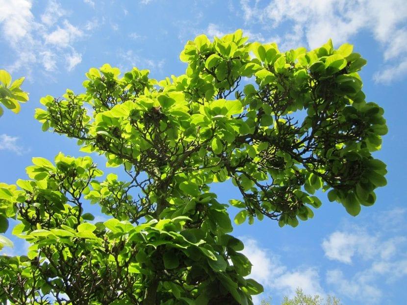 La Magnolia x soulangeana es un arbusto caducifolio