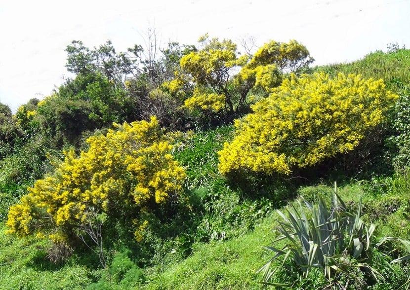 matas de arbustos con flores amarillas que son invasivas