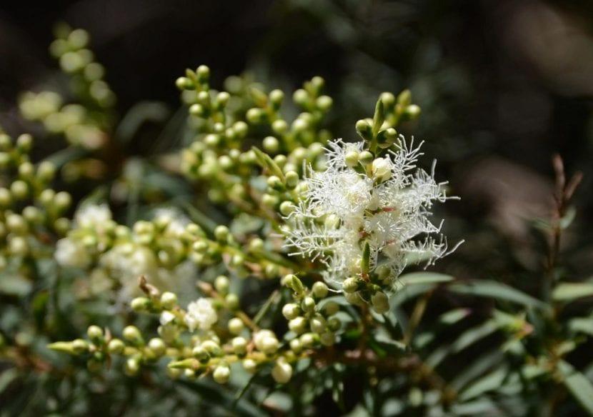 Las flores de la Melaleuca alternifolia son blancas
