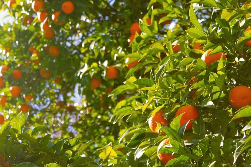El naranjo es un árbol frutal