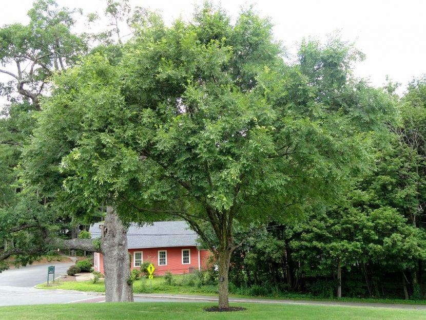 El olmo chino es un árbol de hoja caduca