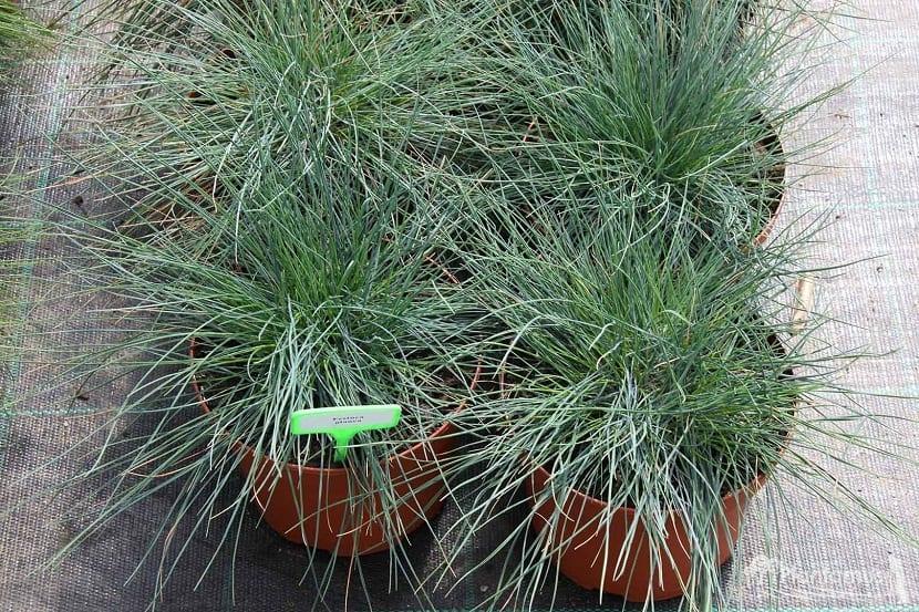 arbusto con forma redonda y de color muy verdoso