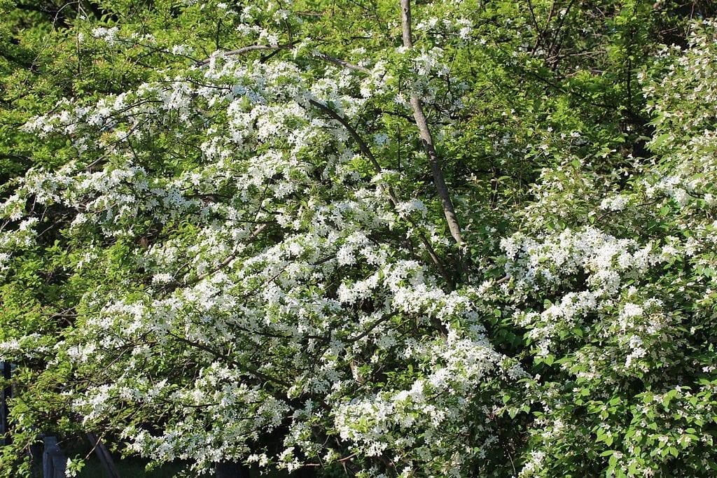 Vista de las flores del Pyrus calleryana