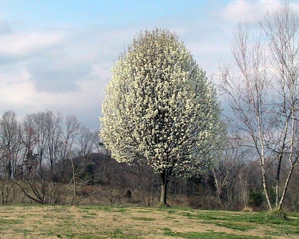 El peral de flor es un árbol mediano
