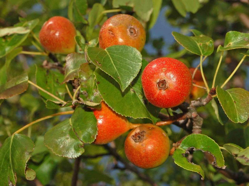 El peral silvestre produce peras rojizas