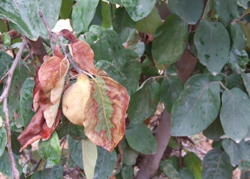plaga en arbol frutal llamada Erwinia amylovora