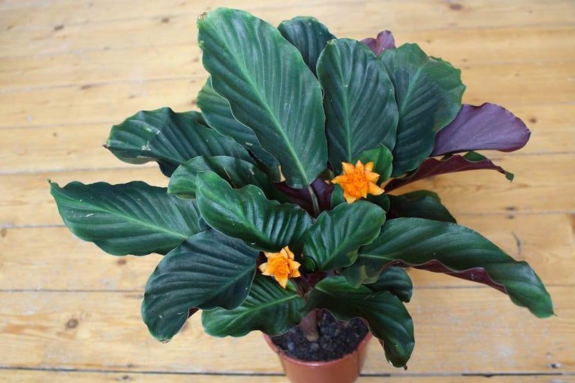 planta con hojas fuertes y grandes y flores