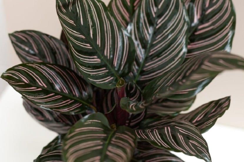planta con hojas muy bonitas, ideal para decoracion