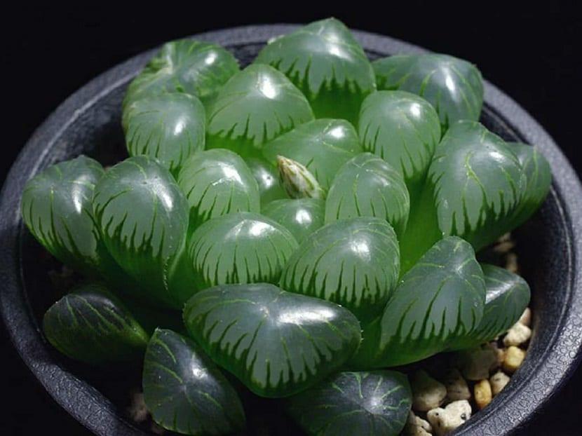 planta con hojas pequenas en maceta