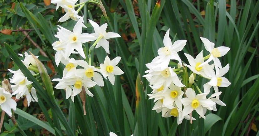 planta con ramos de flores blancas