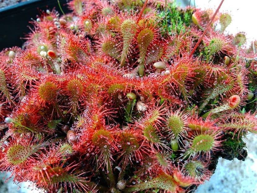 plantas carnívoras con mucílagos