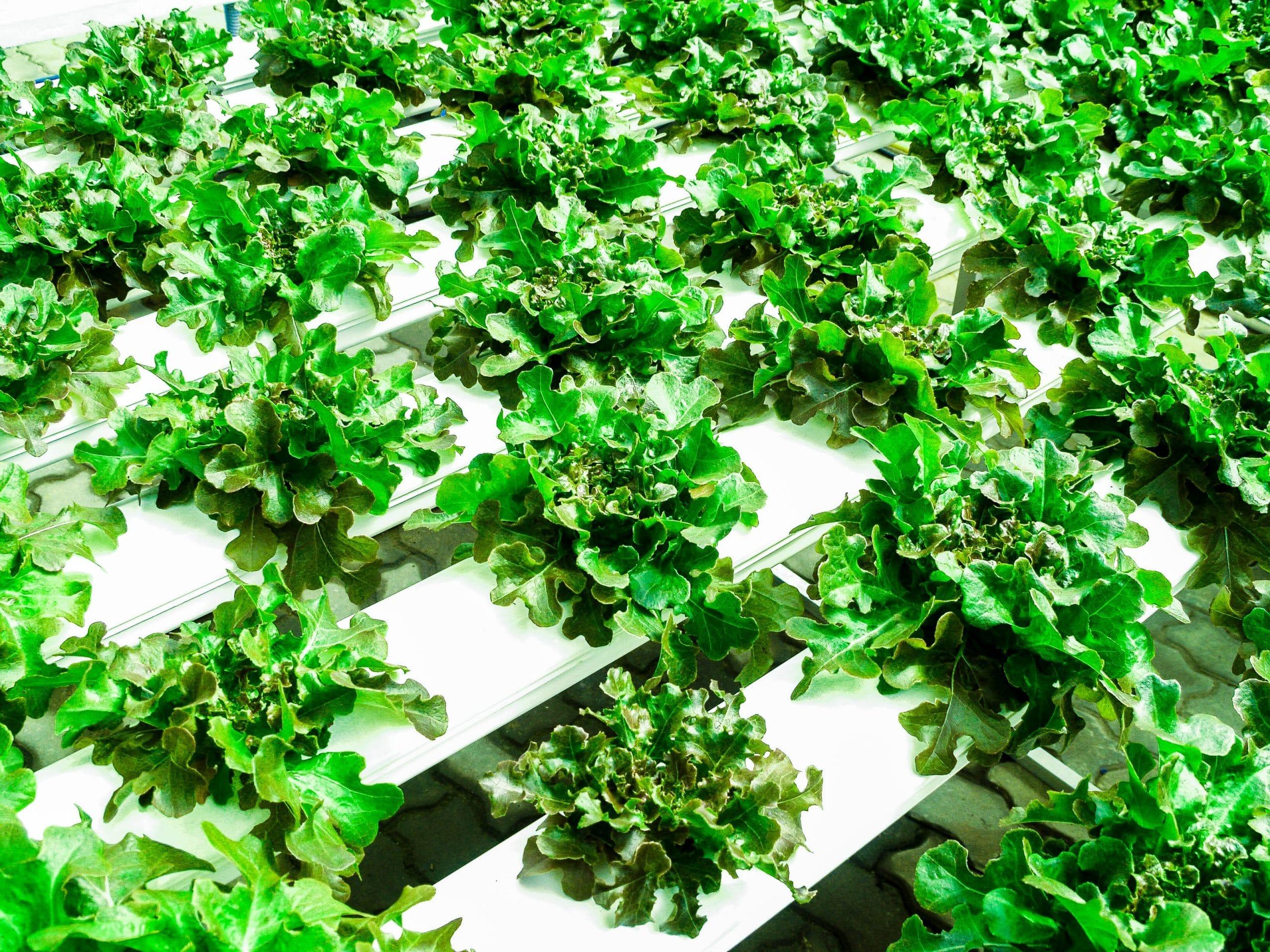 Se pueden cultivar hortícolas pequeñas en sistemas hidropónicos