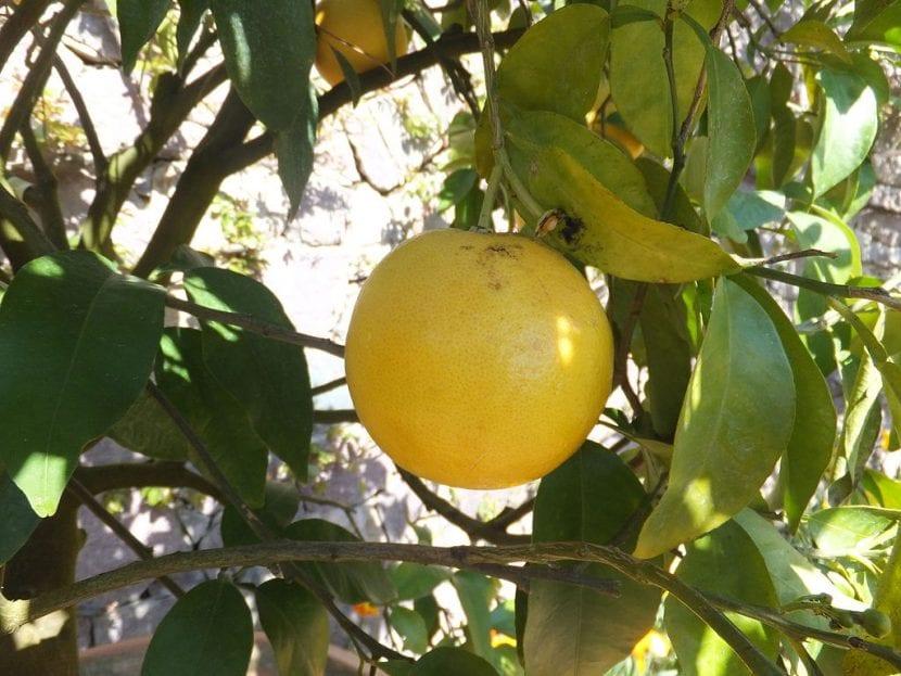 El pomelo es un árbol decorativo y frutal