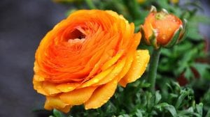 preciosa flor de color naranja con gotas de rocio