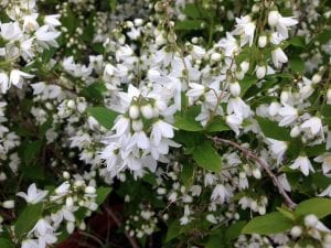 preciosas flores de color blanco que salen de un arbusto