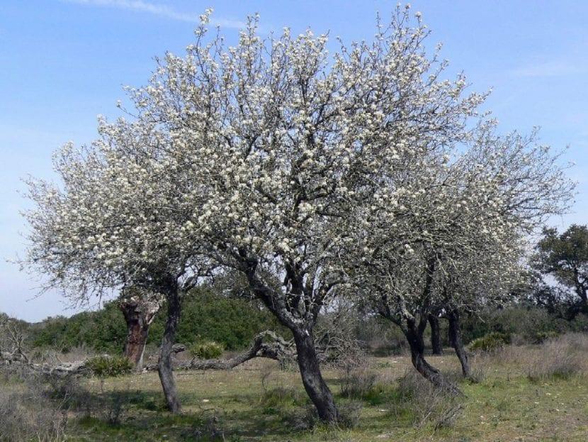 Vista del Pyrus bourgaeana