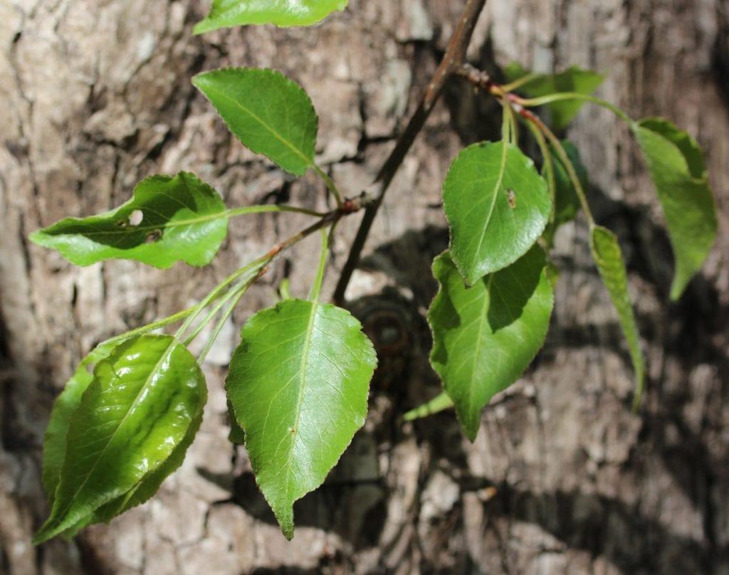 Las hojas del peral de flor son caducas